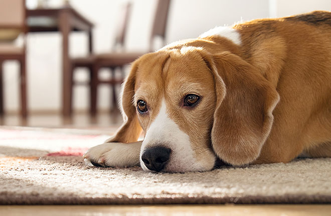 Chronic vs. Acute Pain in Dogs