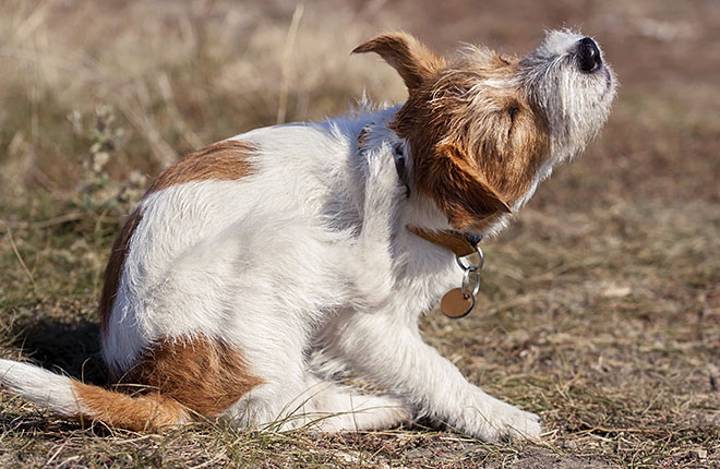 Why is My Dog Itching?